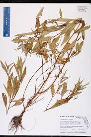 Lithia Florida Map by Herbarium Specimen Details Isb Atlas Of Florida Plants