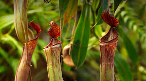 Tropical Flowering Plants Tropical Pitcher Plant San Diego Zoo Animals U0026 Plants