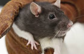 Garden Rodents Types Are Lab Rats Really Prone To Cancer Howstuffworks