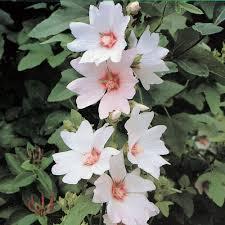 lavatera u0027barnsley u0027 large plant annuals pinterest barnsley
