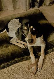 bluetick coonhound rescue illinois waylon u0027s web page