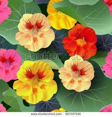 nasturtium flowers nasturtium stock images royalty free images vectors
