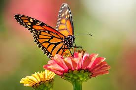 butterflies on coast extinction