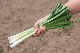 king richard organic leek seed johnny u0027s selected seeds