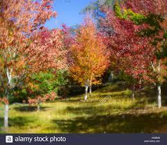 Mt Lofty Botanic Gardens Autumn Forest In The Mount Lofty Botanic Garden Australia South