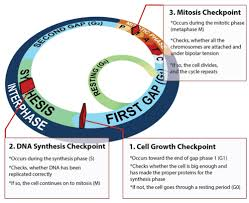 cell cycle read biology ck 12 foundation