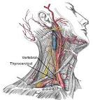 As the subclavian artery