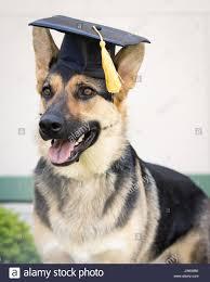 dog graduation cap a german shepherd dog wearing a black graduation cap with a yellow