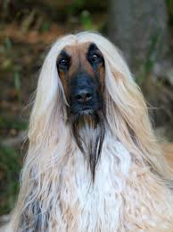 afghan hound king of dogs the 69 best images about afghan hounds on pinterest polos king