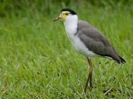 bird management solutions pest control gold coast u0026 brisbane