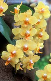 yellow orchids orchids phalaenopsis yellow plant flower stock photography