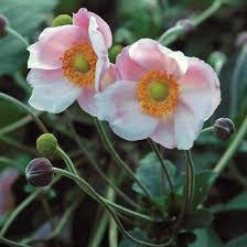 anemone plant anemone gardening
