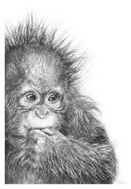 orangutan greetings cards orangutan pencil drawing art print