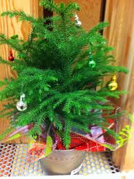 table top real blue spruce tree rooted mini