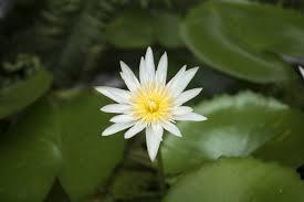 imagenes zen gratis fotos gratis naturaleza blanco hoja pétalo florecer lago
