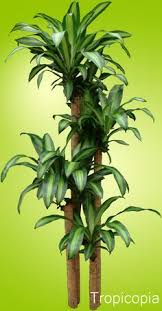 how much light do pot plants need why do dracaena houseplants get brown tips too much fertilizer or