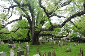 n j white oak one of the oldest in the county reportedly may