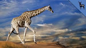 how giraffes drink water youtube