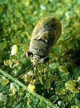Garden Pests Identification - images of common garden pests bugs and natural remedy solutions