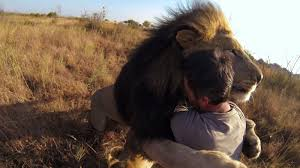 tries to hug a wild lion you won u0027t believe what happens next