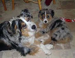 double r australian shepherds australian shepherd breeders california