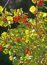 small native plants wax currant ribes cereum blackfoot native plants