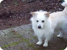 american eskimo dog breeders bichomo eskimo americano bichon frisè hibryd dog cani ibridi