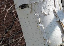birch tree wrapping paper 6 trees every survivalist should the of manliness