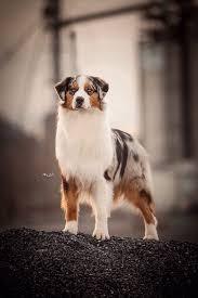problems with australian shepherds 1451 best australian shepherd images on pinterest aussies dog