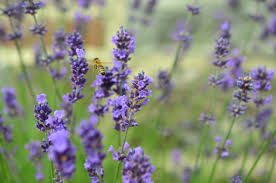 Flowers That Keep Mosquitoes Away 11 Plants That Keep Bugs Away Naturally Wazzafeed