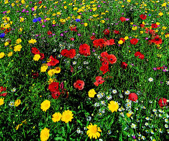wild flowers vivid annuals and glorious perennials cotswold