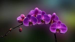 orchids flowers flowers orchids flowers purple nature hd wallpaper for hd 16 9
