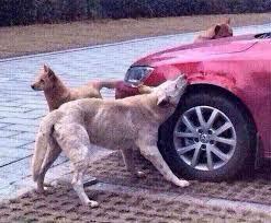 Dog In Car Meme - dog catches car the widdershins