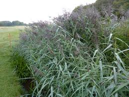 permaculture plants common reed temperate climate permaculture