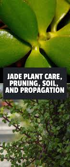 Jade Plant Care Pruning Soil and Propagation