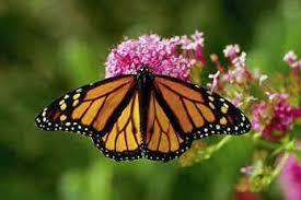 monarch picture