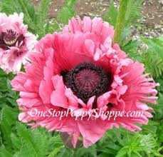 poppy seeds germinating and caring for poppies