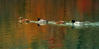row of ducks swimming on water stock video footage videoblocks