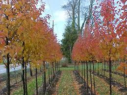 tree profile for the flowering pear forest nursery inc