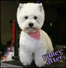 images of westie hair cuts 10 best westie grooming images on pinterest grooming dogs