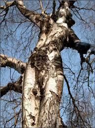 tree face pareidolia exle face of jesus in the tree
