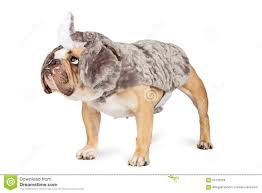 Halloween Costumes English Bulldogs Bulldog Rhinoceros Halloween Costume Stock Photo Image 60125034
