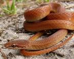 Pine Woods Snake | Sensational Serpents sensationalserpents.com