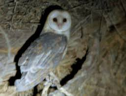 North American Barn Owl Barn Owl Family Tytonidae