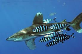 žralok dlouhoploutvý wikiwand