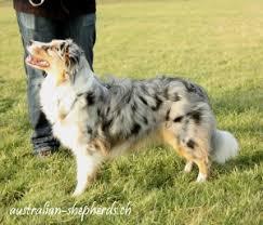 gewicht australian shepherd 7 monate entwicklung kira australian shepherds ch