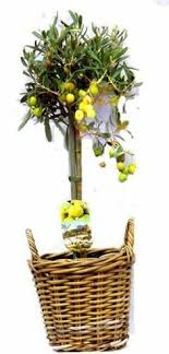 olive gifts olive tree gift christmas plants plants and gardens