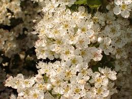 native hedgerow plants 1 hawthorn hedging plant 4 5ft hedge native hawthorne