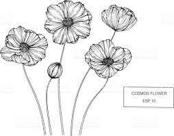cosmos flowers drawing and sketch with lineart on white