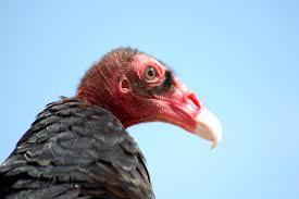 Seeking Vulture Turkey Vultures Dan Gleason S